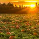 pumpkin_patch_at_sunrise_b